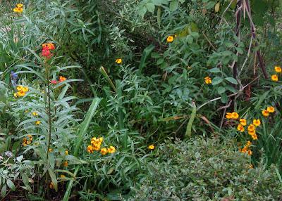 Annieinaustin, Mexican Mint Marigold & Tropical Milkweed