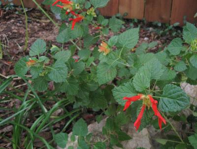Annieinaustin, Salvia regla, mountain sage