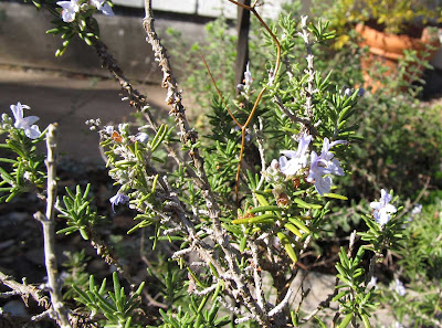 Annieinaustin, blue rosemary flowers