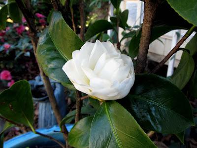 Annieinaustin, camellia morning glow