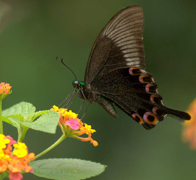 ... called Paris Peacock. Its size is smaller than Great Mormon, ...