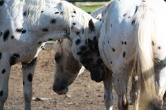 Starmyri Appaloosas Stallions