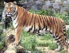 कृपया राष्ट्रीय-पशु बाघ को बचाइये