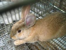 raza de conejo