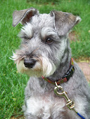 My garden companion ... Sasha the Schnauzer