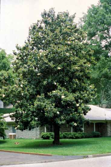 Southern Magnolia | Augusta, GA - Official Website