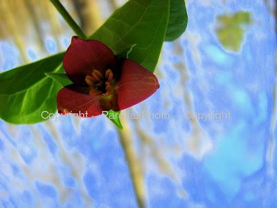 pink wild flower trillium