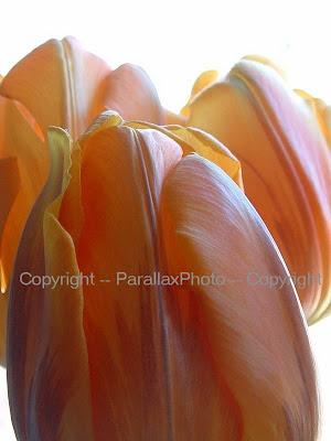 orange tulip flower