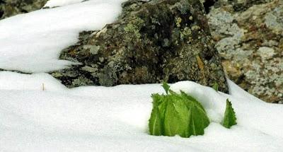 Tuyết Liên Hoa ( Hoa mọc trên tuyết )