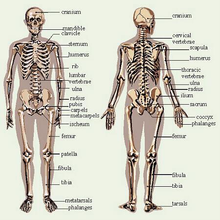 poze scheletul uman