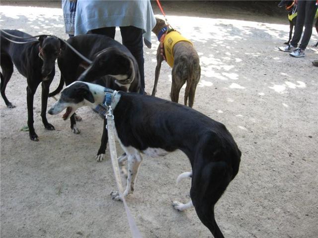 Mas de 50 perros, galgos y mestizos en el paseo organizado este domingo en Valencia por Galgos112