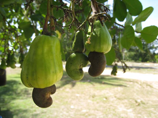 Related Wallpapers Cashew Nut Tree