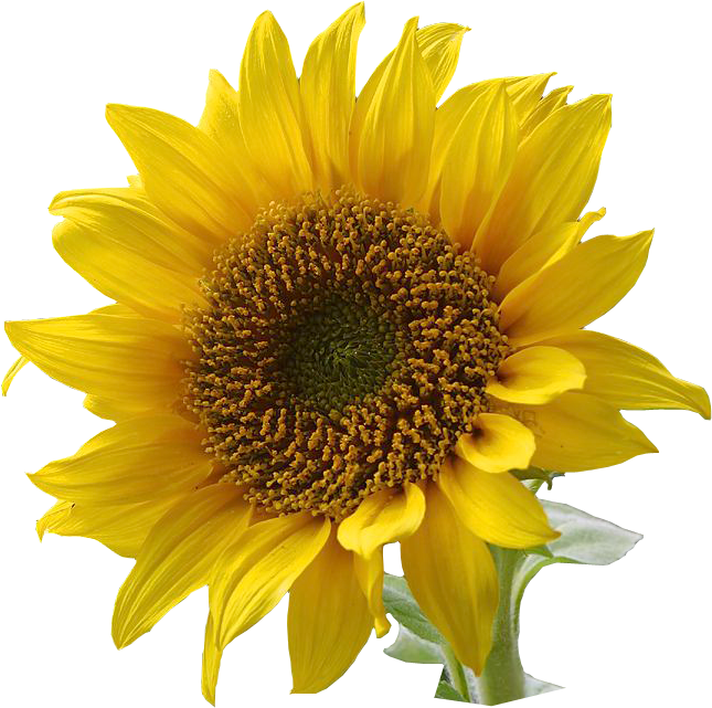 Free Sunflower graphics png  jpgSunflower Images Clip Art