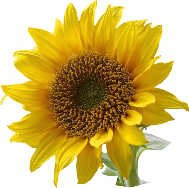 free sunflower graphics