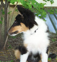 The Types of Sheltie Coat Color and Markings