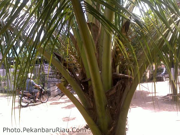 Riau Coconut Trees