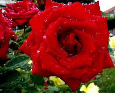 Mulher; Flor Delicada