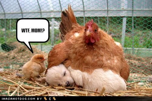 funny chicken. The Chicken Diaries: November