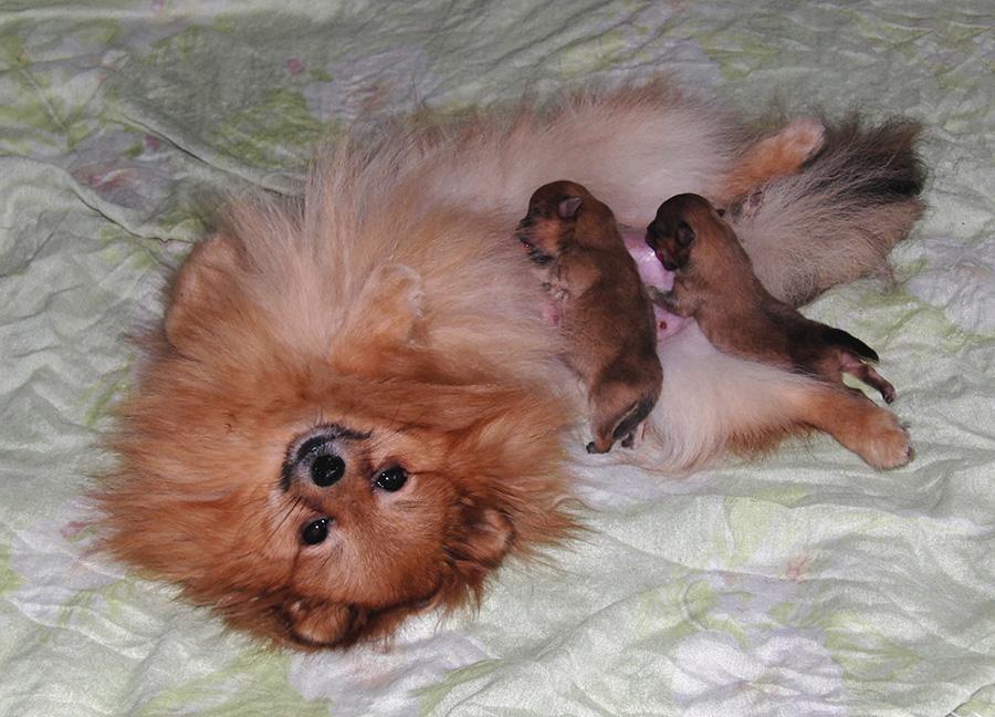 объявления сколько щенков рожает миниатюрный шпиц Тюмени