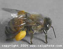 European honey bee and pollen sac