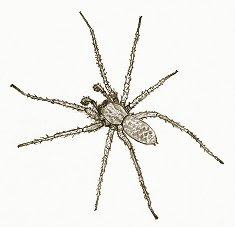 hobo spider drawing