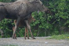 Gratuitous Alaskan Moose         Picture