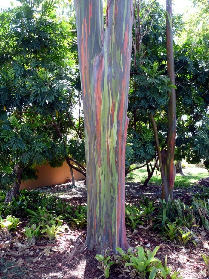 Rainbow Eucalyptus Tree 07 Pics Video Curious Funny