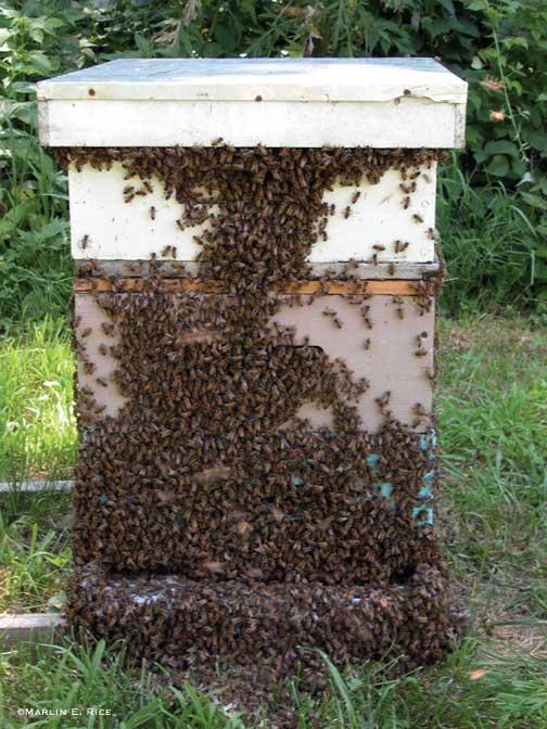 honey labrador