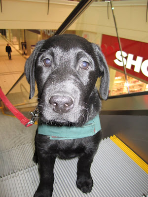 Romero, an eleven week old black lab puppy with a long nose, big round eyes, and big droopy ears stands on an escalator moving up. The escalator is gray and has a yellow stripe along the side. Romero's front two feet are one step ahead of his back feet. He is looking calmly into the camera. He is wearing his green Future Dog Guide jacket, so there is a thick strip of green fabric across his chest, and  his thin red nylon leashing is hanging in a J shape on his right side. Through the glass siding of the escalator a Shoppers Drug Mart sign is visible.
