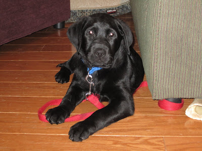 A young black lab puppy is lying down on a wood floor beside a green couch. He is wearing a blue nylon collar attached to a thin red nylon leash which is wrapped around the leg of the couch. There is also a bone sticking out from under the couch. The puppy is looking right into the camera with an intelligent look on his face.