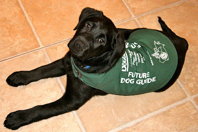 Romero, a twelve week old black lab puppy is lying on a tiled kitchen floor looking up at the camera above him. His back is mostly covered with a dark green jacket with white writing on each side that reads FUTURE DOG GUIDE. Romero's head is slightly tilted, his tail is sticking out to one side, and his long front legs are stretched in front of him.