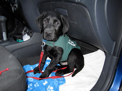 The picture is taking through the open passenger door of a (parked!) small blue car. The interior of the car is black. Romero, a black lab puppy is sitting up in the footwell of the passenger seat. There is a white towel and a blue fleece blanket patterned with dog bones on the floor where Romero is sitting. Romero is wearing a blue collar, red leash, and his green Future Dog Guide jacket. He has big round brown eyes that are staring into the camera as if pleading for a treat.