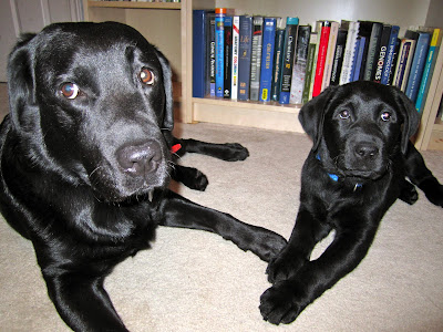 Dallas, a full grown black lab wearing a red collar and Romero, a 12 week old black lab wearing a blue collar are laying together on a cream carpet in front of a beige bookcase filled with textbooks. The two dogs are laying about a foot apart, with their front legs angled in towards each other and Romero's right paw resting against Dallas' left paw. Dallas has light brown eyes and a rather funny expression on her face - her eyes are looking slightly in the opposite direction from Romero and her right ear is raised back as if listening for a sound. Romero has darker brown eyes and is looking more prim and proper, staring directly into the camera with his head on the slightest tilt.