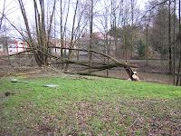 umgeworfener Baum im Schildesche