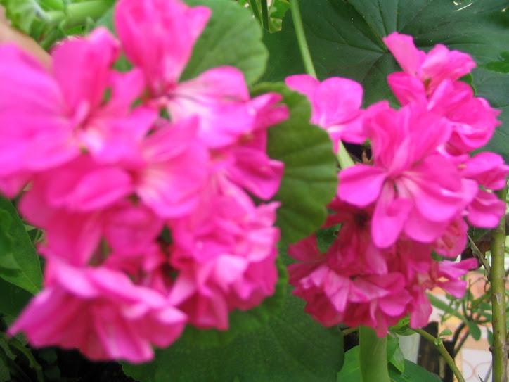 Flores da calçada