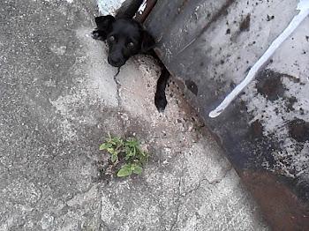 Cachorrinho preso, querendo sair por baixo do portão
