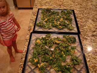 Nutritional yeast mixture rubbed on kale leaves on dehydrator trays