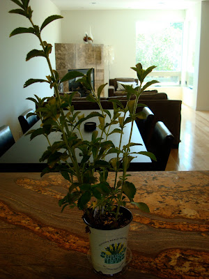 Stevia plant on countertop