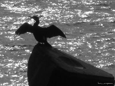 cormoran la plaja