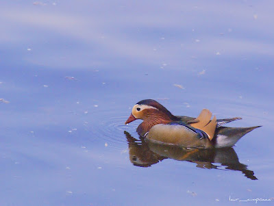 Rata mandarin americana, Wood-duck