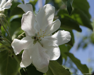 Floare de mar-Apple flower-Apfel Blume