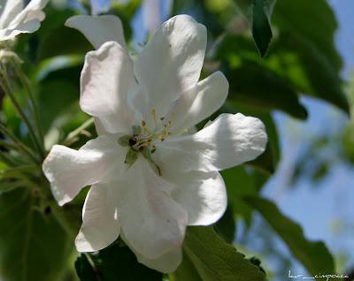 Floare de mar-Apple flower-Apfel Blume