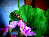 libelula-dragonfly