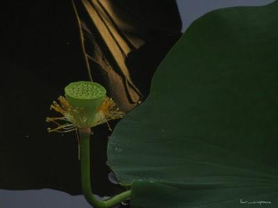 lotus fruit