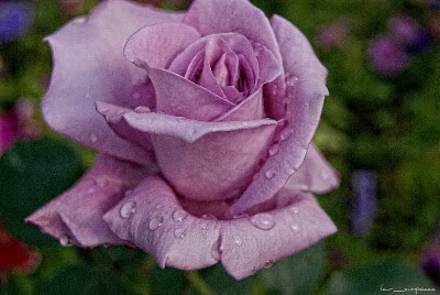 Trandafir Rose Rosa