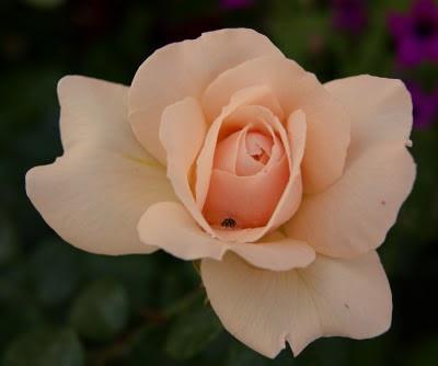 trandafir-rose-rosa-floare-flower