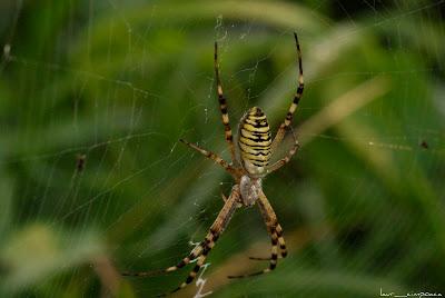 Păianjen viespe-Argiope bruennichi-Wasp spider-Araña avispa-Tigerspinne-Darázspók