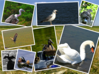 Pasari/Birds/Aves/Vögel/Πουλιά/Madarak