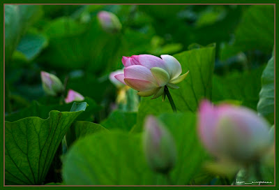 Nelumbo_nucifera|lotus|floaredelotus|lotusflower|Lotosblume|λωτόςλουλούδι|fiorediloto|flordelótus|flordeloto|lótuszvirág