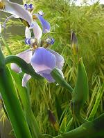 Desenrolar duma flor